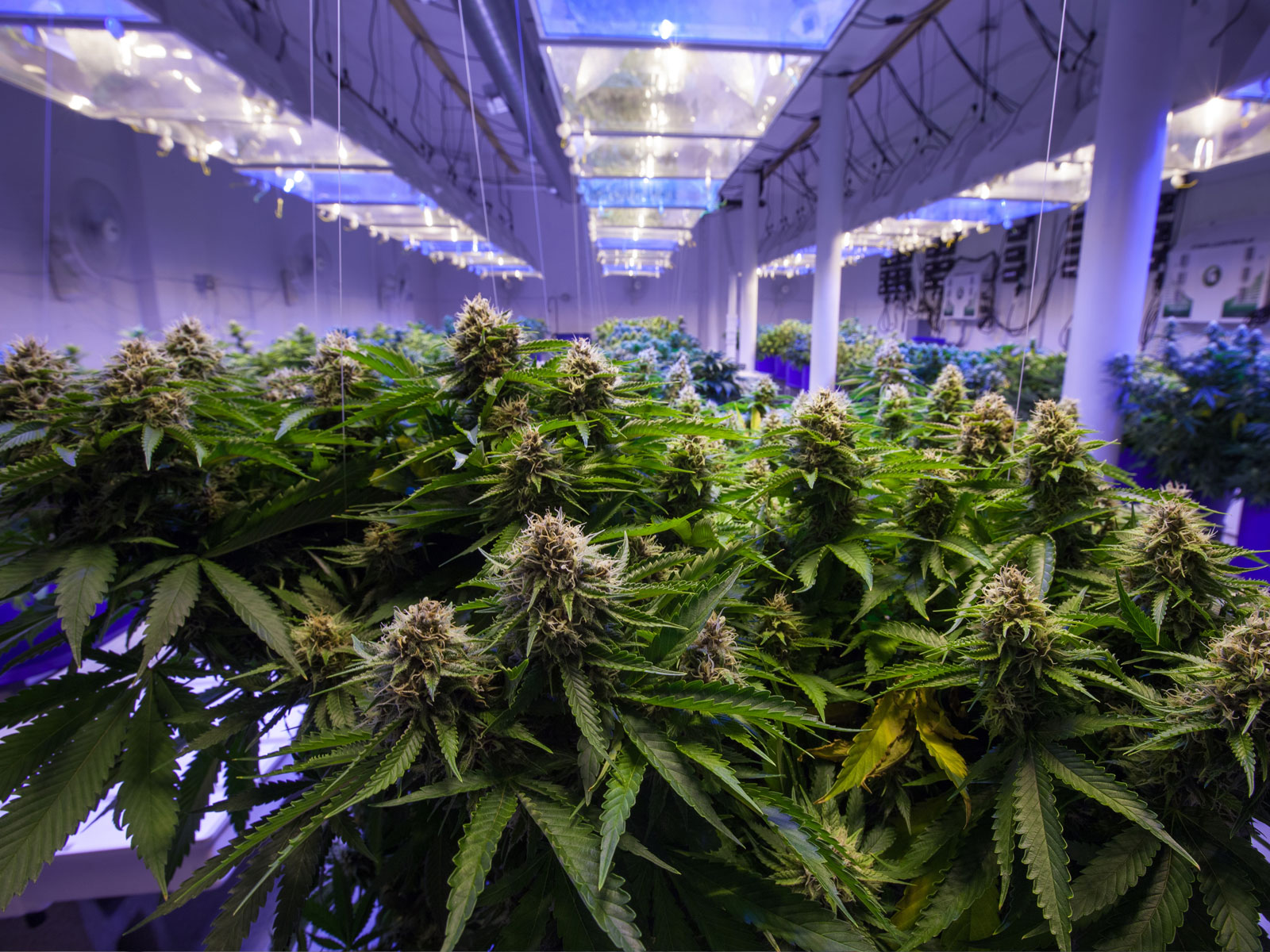 Image result for cannabis grown indoors